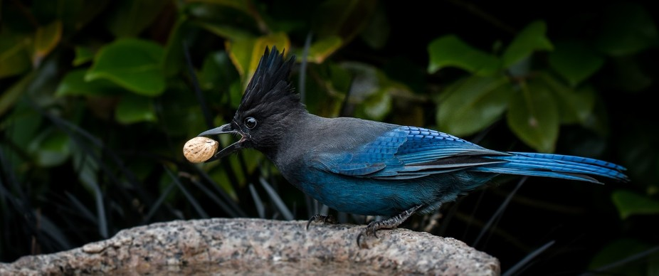 Steller\'s Jay with peanut