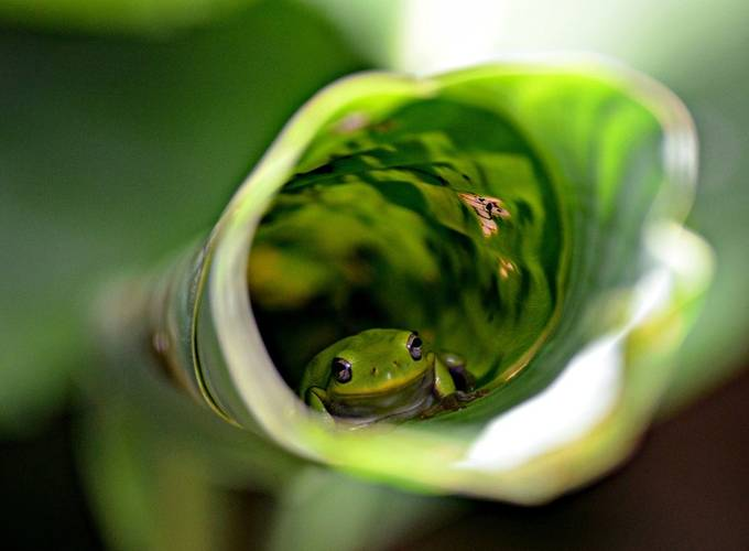 Frog in Leaf by burtcross - Hiding Photo Contest