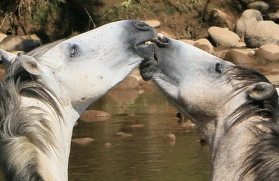 wild stallions lip lock (crop)