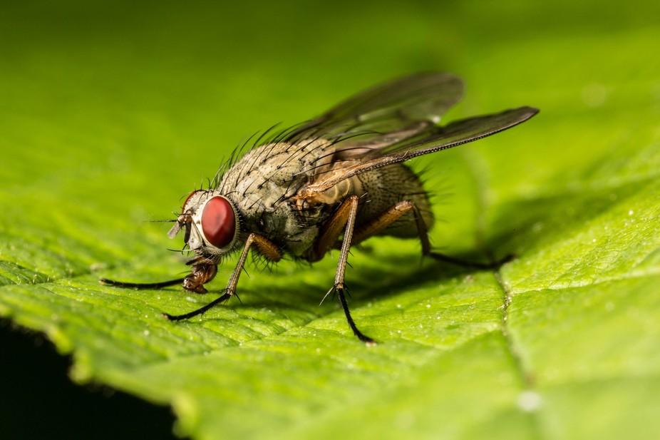 Flesh Fly on leaf