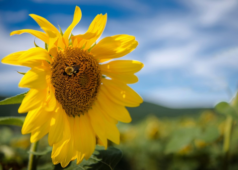 This capture of the Sunflower is at the Donaldson Farm.    The farm is family owned and is in Nor...