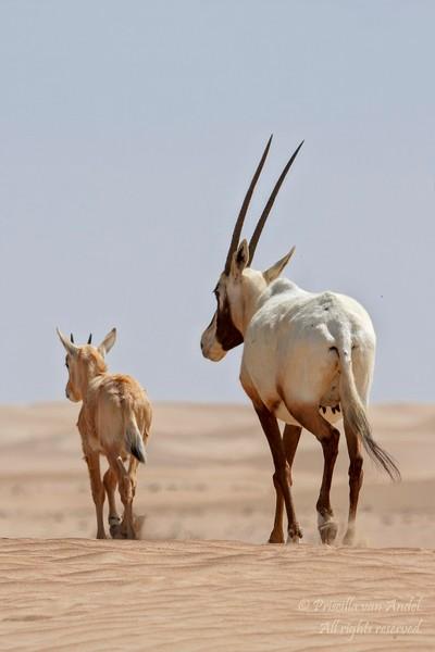 IMG_0905 Arabian Oryx
