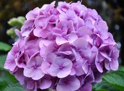 Purple Dome.. Unedited -Hydrangea