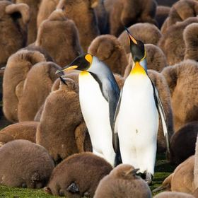 King Penguins with chicks in the Falkland Islands