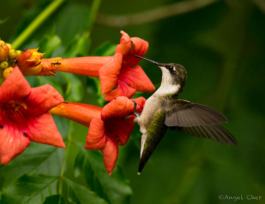 Juvenile Ruby-Throated hummingbird on a trumpet clasping onto a trumpet vine flower.