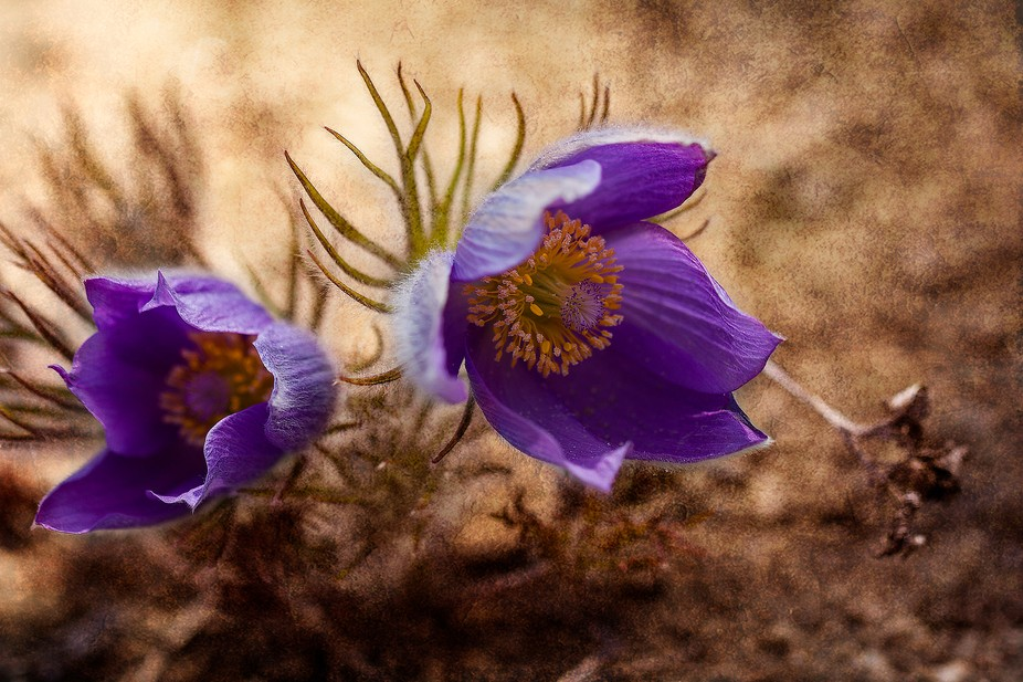 First sign of spring, the crocus flower. It lasts only a few days and you have to be vigilant abo...