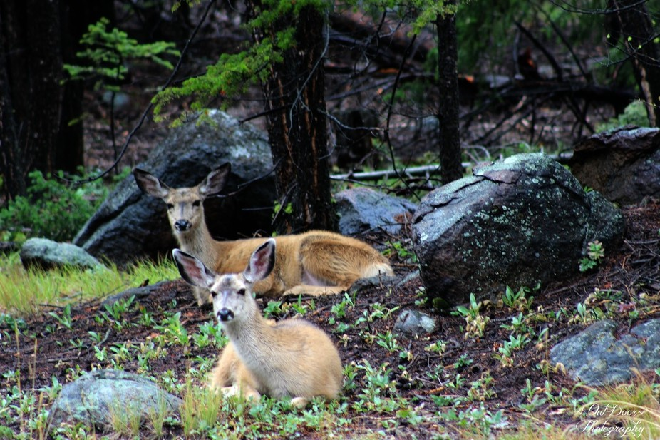 8-23-2014 Two Doe\'s resting