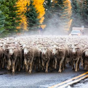 A classic Idaho traffic jam unfolds as recently sheared sheep pass through the colorful streets of Ketchum, Idaho.