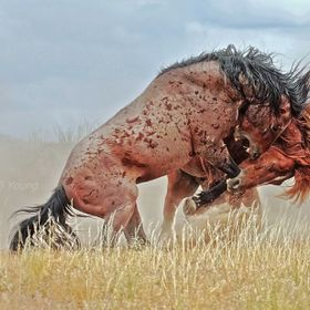 Out in the West Desert of Utah, two wild mustang stallions hold nothing back as they fight to establish rank and the right to lead and breed a ba...