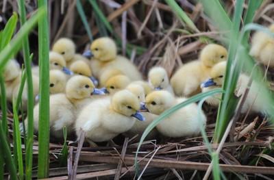 Ducky Secret