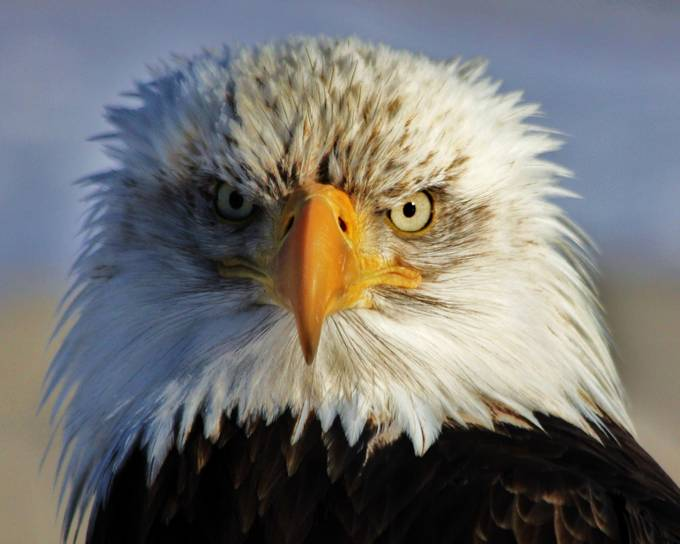 I See You by Russell_Campbell - Majestic Eagles Photo Contest