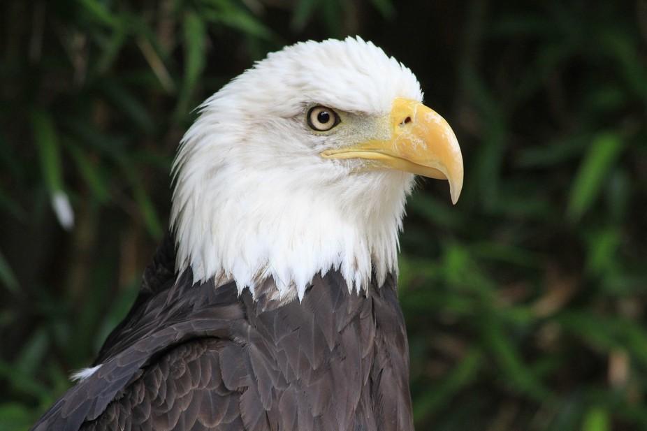 Injured Eagle at Salato Wildlife Center in Frankfort, Ky