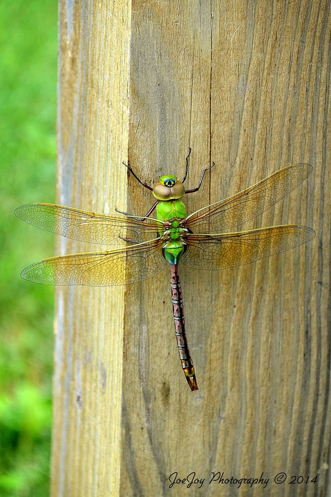 Taken with Nikon D5100 using AF-S Nikkor 70-300 mm 1:4.5-5.6 G lens in Devils Lake, North Dakota.   Enhanced and resized using onOne Perfect Photo Suite 8.5.  There was a huge hatching of dragonflies while we were vacationing there.