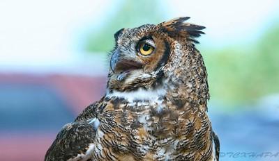 Great Horned Owl (BHO)