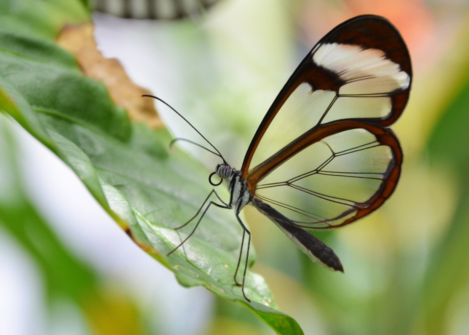 Glasswing butterflies are one of many different species showcased the Houston Museum of Natural S...