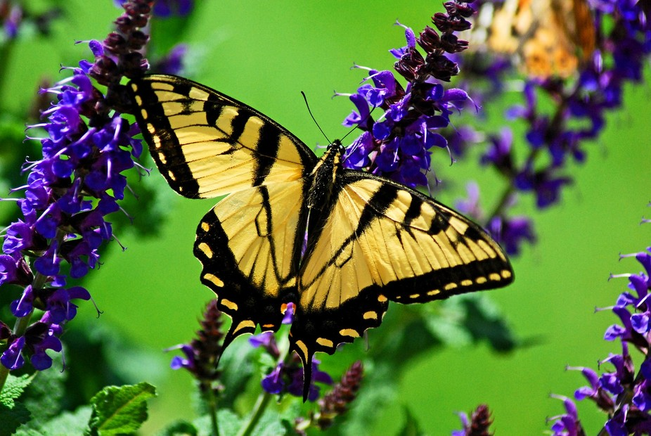Eastern Tiger Swallowtail feasting on a Salvia in my front yard.