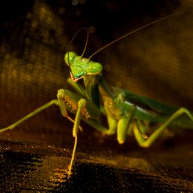 A cute little bright green praying mantis cleaning / grooming his antenna.