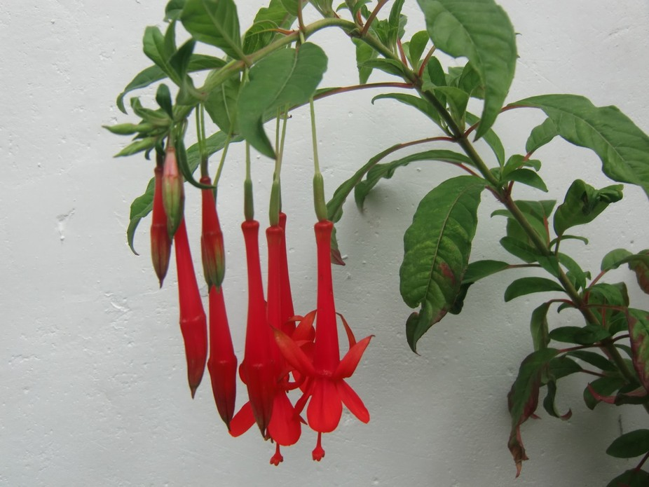 flowers of Peru