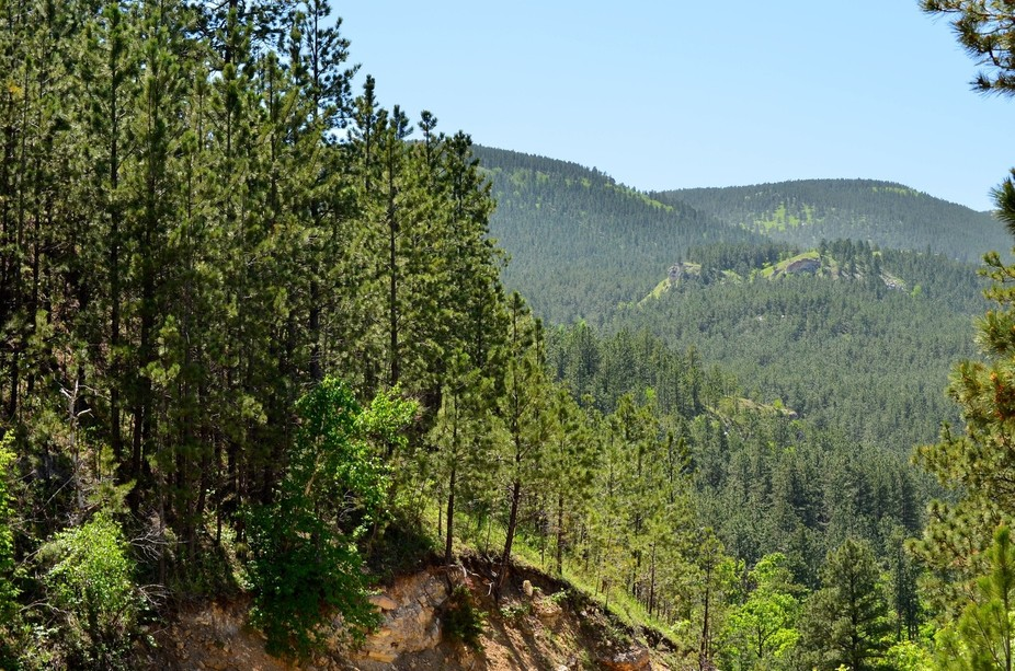 This photo shows the beauty of the wonderful ponderosa pines in the Black Hills of South Dakota