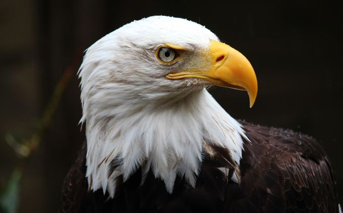 Eagle in the Rain by janknight - Dodho Volume 4 Photo Contest