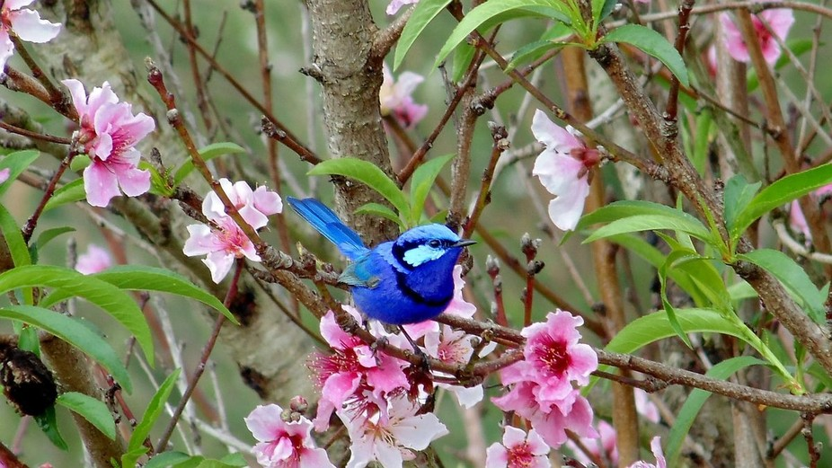 Blue Wren in Nectarine tree