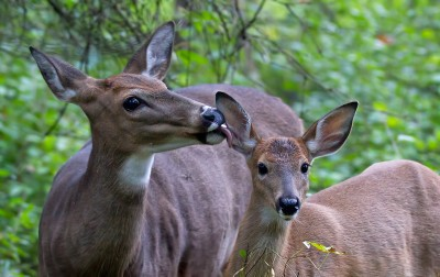 Ear Cleaning - White-tailed deer Fawn
