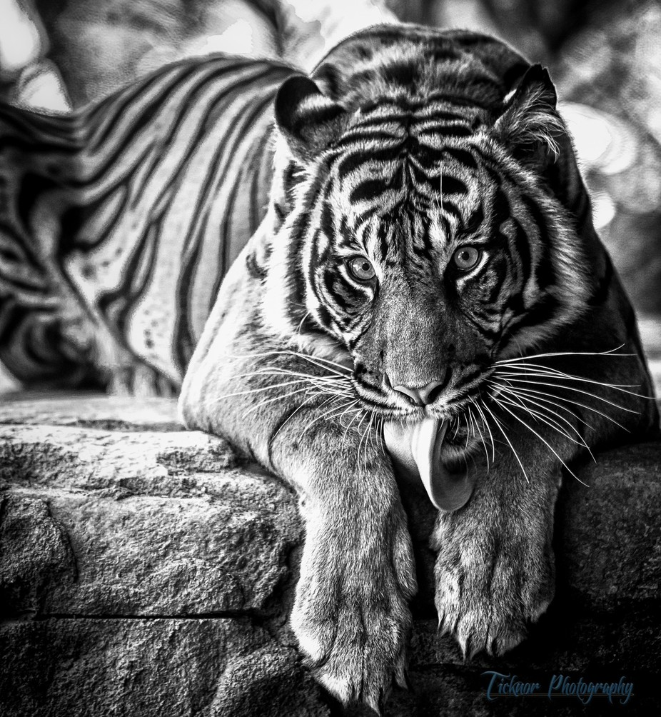 Tiger Tongue by robbyticknor - Depth In Black And White Photo Contest