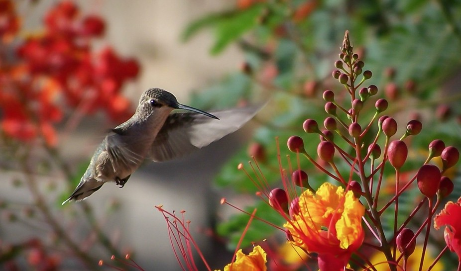 Hummingbird in blooming Bird of Paradise