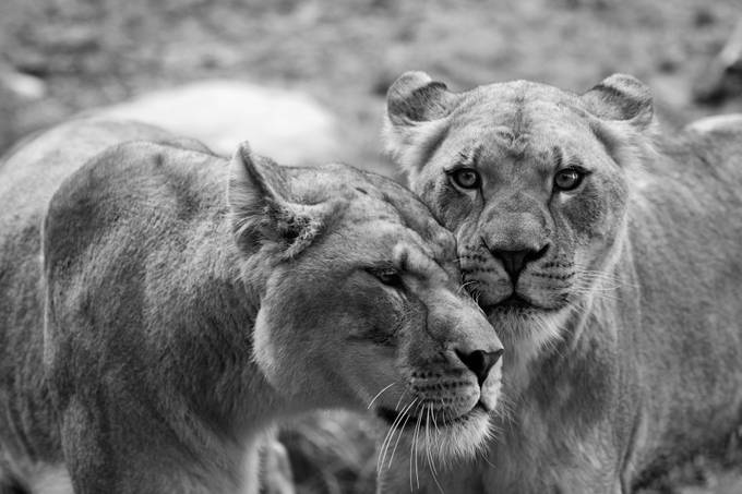 Lioness Love by vujadeexpressive - Pushing Limits Photo Contest