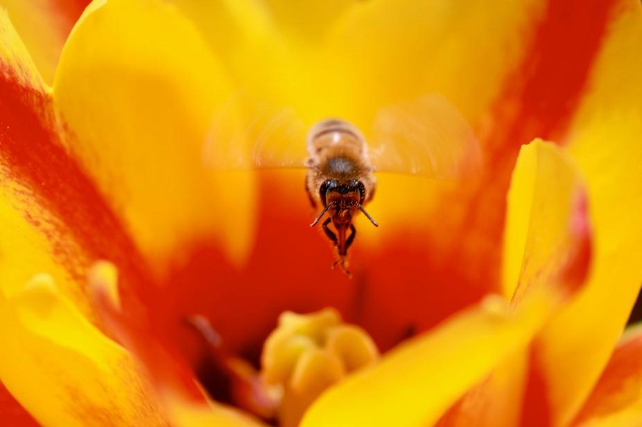 Honey bee inside a tulip flower.