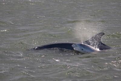 Bottle nose dolphin juvenile