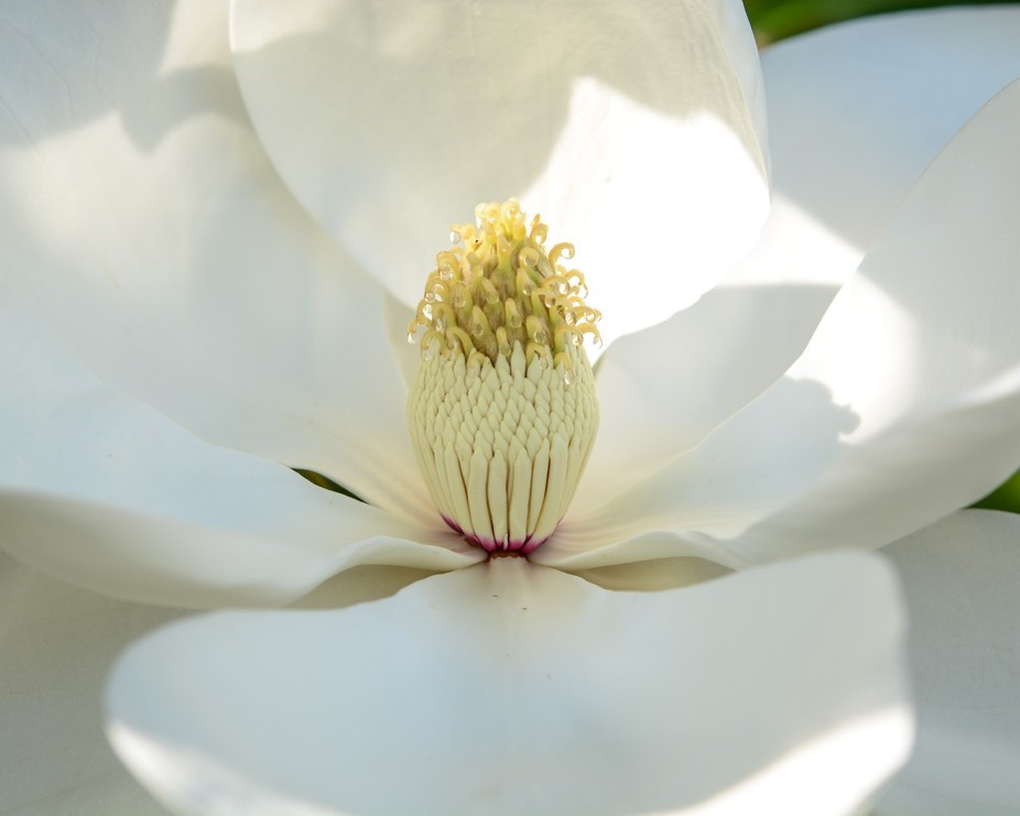 Another view of this magnolia with dew drops.