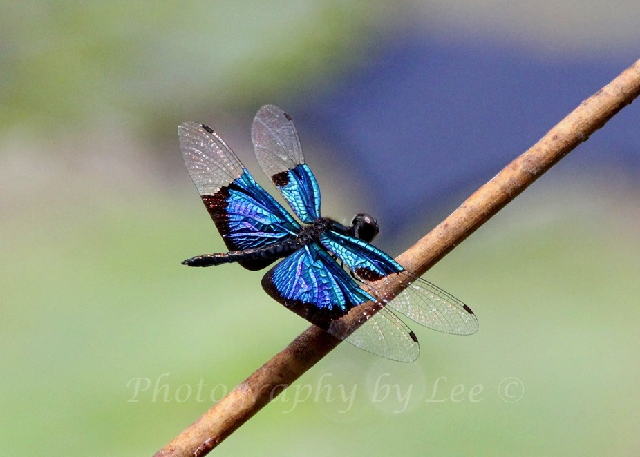 Blue dragonfly at rest