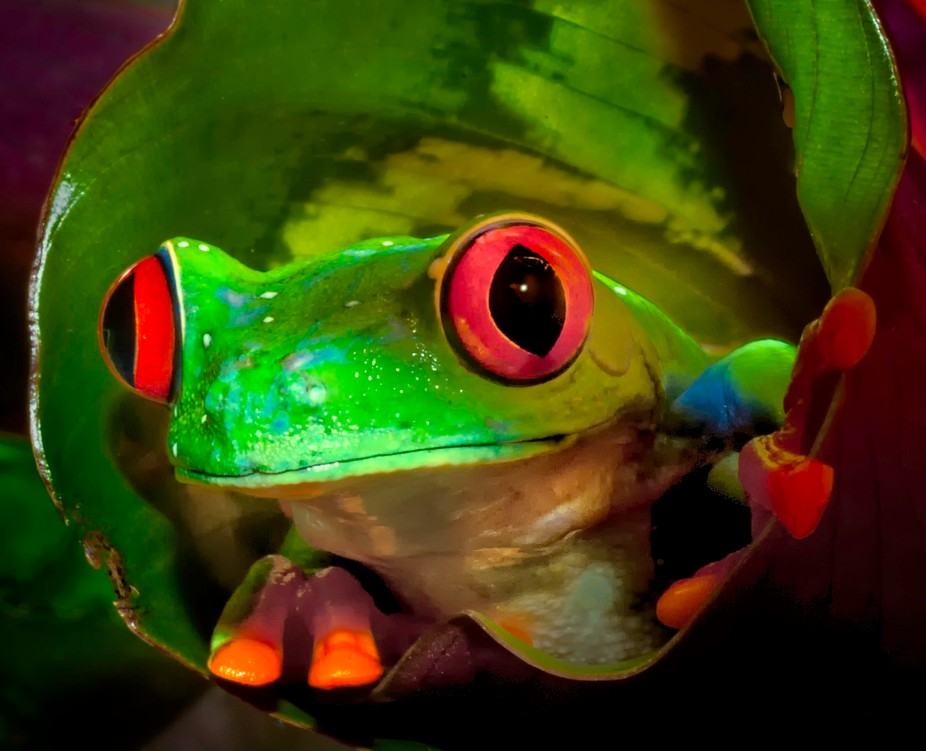 Red Eyed Tree Frog from inside a leaf.