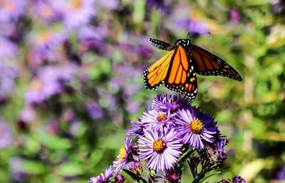 in flight a butterflies delight
