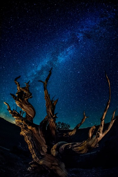 Bristlecone with Milky Way