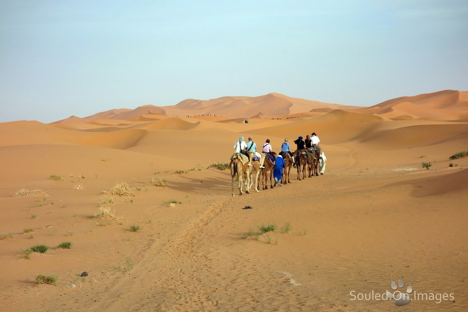 Camel trains trekking into the Saharan dunes Morocco