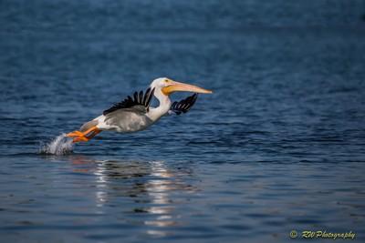 White Pelican Takeoff