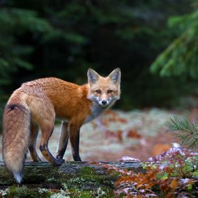 Red Fox - Algonquin Park, Canada