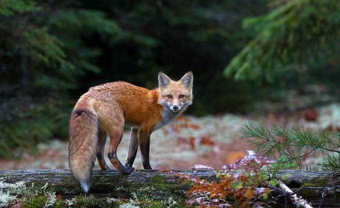 Red Fox - Algonquin Park, Canada by JimCumming - National Parks Photo Contest