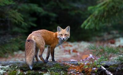 Red Fox - Algonquin Park, Canada