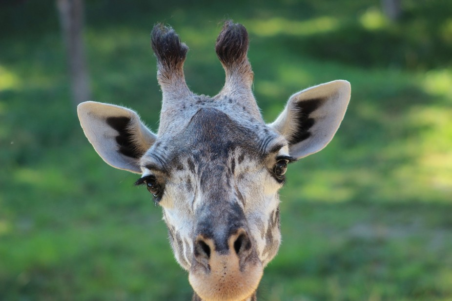 At the Cincinnati Zoo, I was visiting the giraffes and taking a few pictures. One of the giraffes...