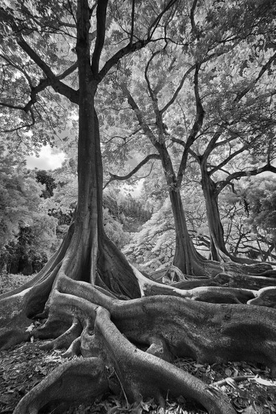 Jurassic Trees - Infrared