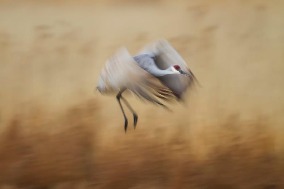 Sandhill Crane in Flight Bosque del Apache New Mexico