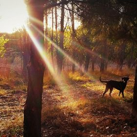 Heavenly Autumn sunset peeking through the trees and my faithful Labrador friend Augustus is checking to see if I am following.