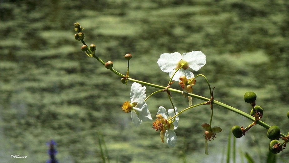 These flowers I have found are called White Cosmos and were growing along side this local pond in...