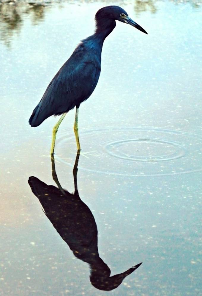 Little blue heron puddle reflection