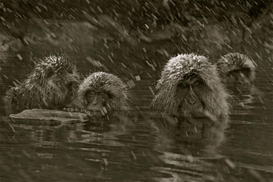 snow monkeys,japan