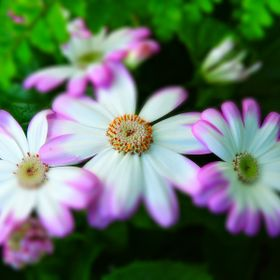 Cineraria is a wondrous daisy relative that warms the spirit with amazing flower colours in the purple, pink, white and blue realm. Cineraria is ...