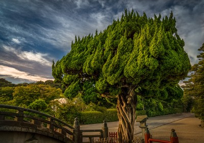 Japan Dragon Tree